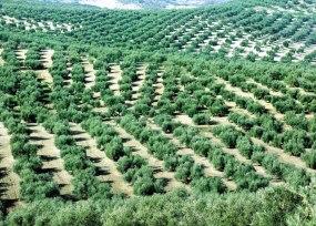 El olivar de Baena se extiende alrededor de la localidad del mismo nombre. / CRDO BAENA