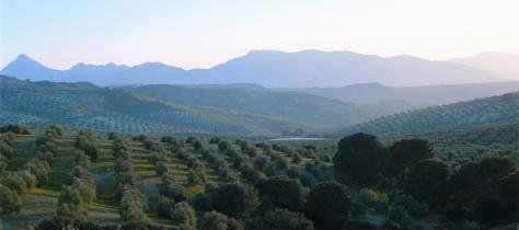 campo de olivar