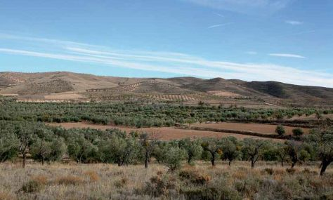 El olivar riojano se encuentra en el límite geográfico del cultivo. /  CUADERNO DE CAMPO-ÓSCAR SOLÓRZANO