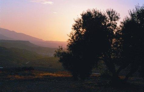 Puesta de sol en un olivo_e