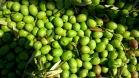 Aceitunas recién cosechadas