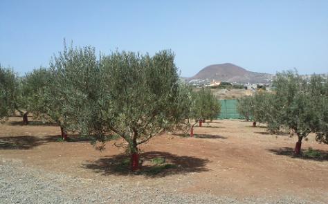 Crece el número de agricultores canarios interesados por el olivo. / GC
