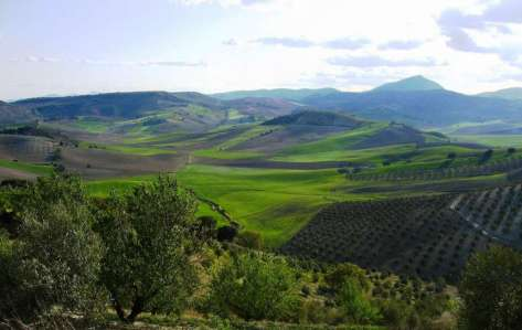 Olivos Sierra Mágina