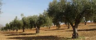 La variedad cornicabra reina en los Montes de Toledo. / DOMT