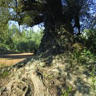 olivomilenario