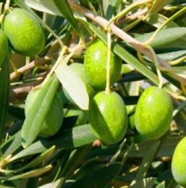 Aceituna castellana, de característica tonalidad alimonada. / DO ACEITE DE LA ALCARRIA