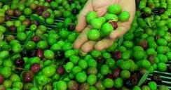 Acuerdo general sobre la calidad de la nueva cosecha de aceitunas.